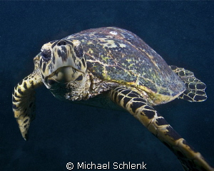 Hawks Bill sea turtle getting friendly with its reflectio... by Michael Schlenk 